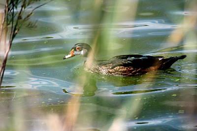 Photograph - Wood Duck by Trent Mallett