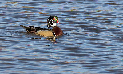 Photograph - Wood Duck by Will Bailey