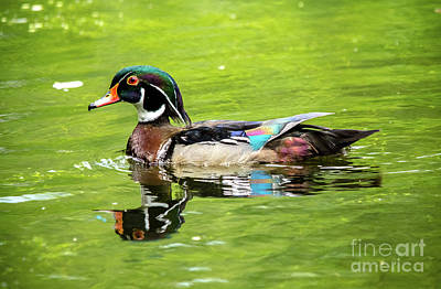 Photograph - Wood Duck With Lime Green Background by Cheryl Baxter