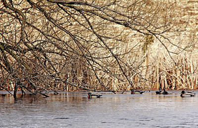 Photograph - Wood Ducks And Friend by Debbie Oppermann