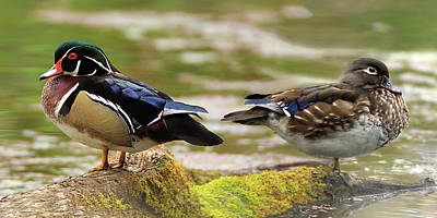 Photograph - Wood Ducks by Craig Strand