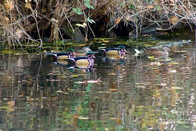 State Love Nancy Ingersoll - Wood Ducks in Autumn by Sean Griffin