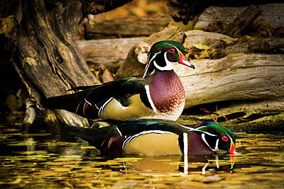 With Red Photograph - Wood Ducks In Autumn Waters by TL Mair