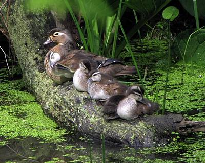 Wood Ducks On A Log Art Print