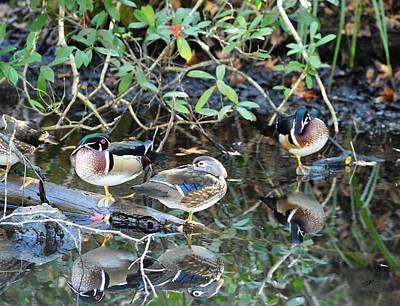 Photograph - Wood Ducks On Pepper Creek by rd Erickson