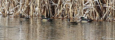 Photograph - Wood Ducks On Rio by Ron Monsour
