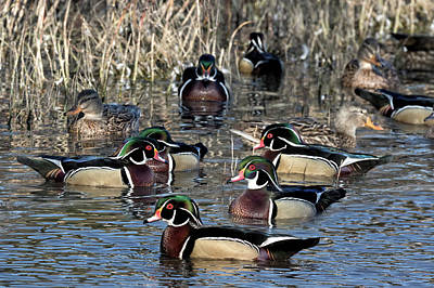 Photograph - Wood Ducks On The Mill Pond by Kathleen Bishop