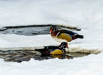 Photograph - Wood Ducks by TL Mair