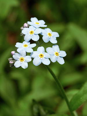 Photograph - Wood Forget-me-not 6 by Jouko Lehto