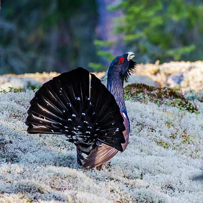 Aria Photograph - Wood Grouse's Tail by Torbjorn Swenelius