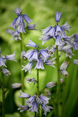 Woodland Violet Photograph - Wood Hyacinths by Teresa Mucha