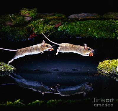 Jumping Mouse Photograph - Wood Mouse Jumping by Erich Brand