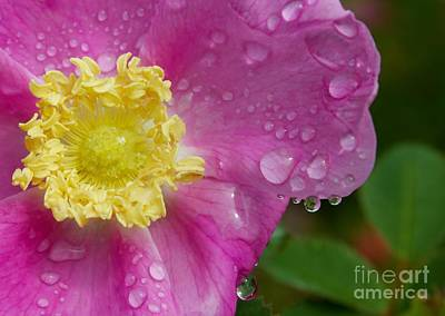 Photograph - Wood Rose Droplets by Terri Thompson