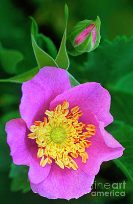 Photograph - Wood Rose Rosa Woodsii Wild California by Dave Welling