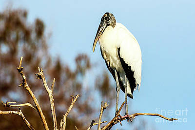 Photograph - Wood Stork 4 by Ben Graham