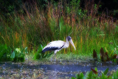 Stork Photograph - Wood Stork - Bold Background by J Darrell Hutto