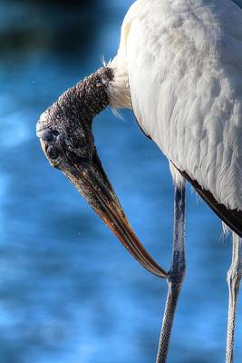 Photograph - Wood Stork by Carol Montoya