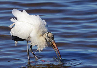 Photograph - Wood Stork Catching Fish by Bruce J Robinson