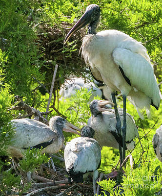 Photograph - Wood  Stork Colony by Vincent Billotto