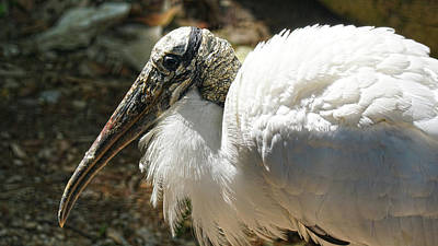Photograph - Wood Stork by DiDi Higginbotham