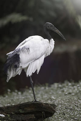 Photograph - Wood Stork by Eduard Moldoveanu