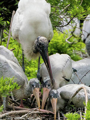 Photograph - Wood Stork Family Potrait by Vincent Billotto