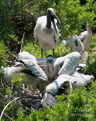 Photograph - Wood Stork Family by Vincent Billotto