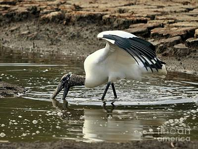Stork Photograph - Wood Stork Fishing by Al Powell Photography USA
