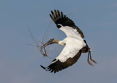 Photograph - Wood Stork Gathers by Phil Stone
