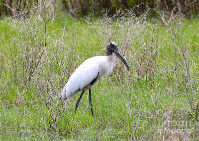 Wood Stork In The Marsh Art Print