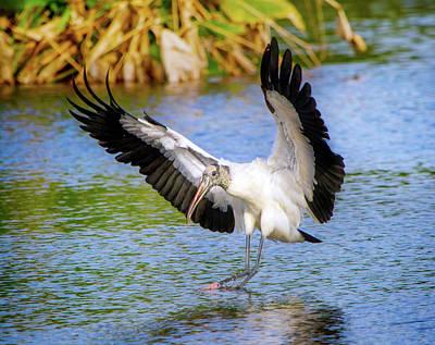 Beauty Mark Photograph - Wood Stork Landing by Mark Andrew Thomas