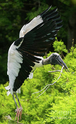 Photograph - Wood Stork Landing by Vincent Billotto