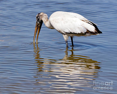 Wood Stork Print by Louise Heusinkveld