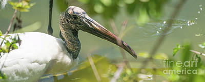 Photograph - Wood Stork Profile by Vincent Billotto