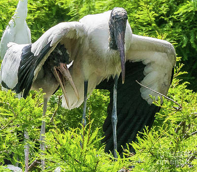 Photograph - Wood Stork Sheltering Its Young by Vincent Billotto