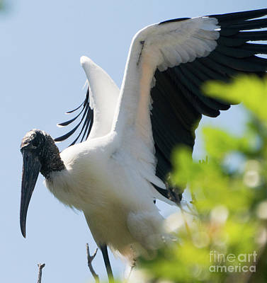Photograph - Wood Stork Stretching by Vincent Billotto