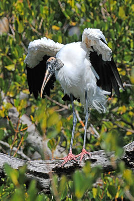 Wood Stork Stretching Wings Original