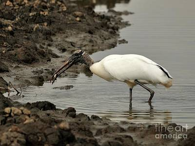 Wood Stork With Fish Art Print by Al Powell Photography USA