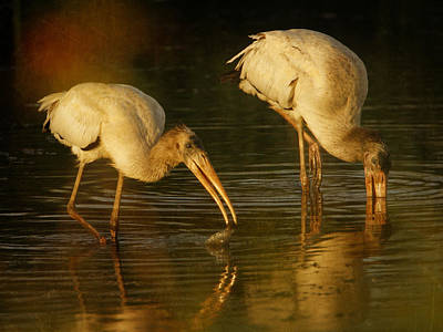 Photograph - Wood Storks Feeding by Charles McKelroy