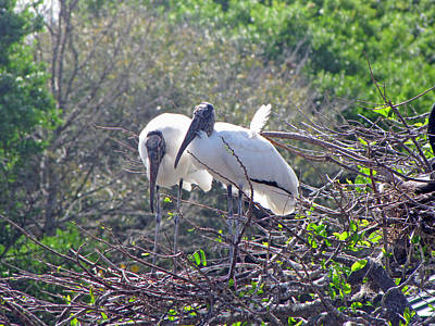 Wood Storks Art Print by Martha Ayotte