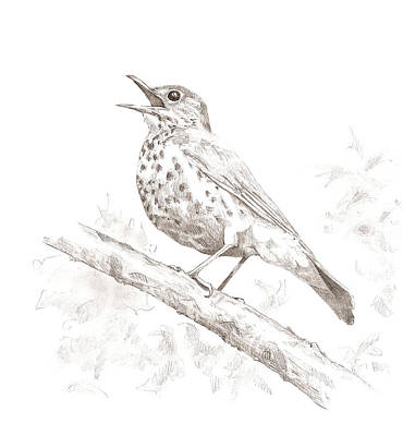 Drawing - Wood Thrush by Abby McBride