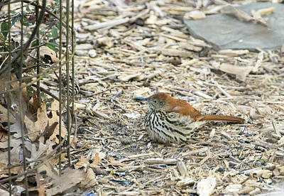 Photograph - Wood Thrush Ground Feeding by Douglas Barnett