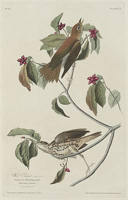 Wings Drawing - Wood Thrush by Dreyer Wildlife Print Collections