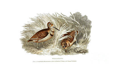 Woodcock Drawing - Woodcock by Ackerman's Repository of Arts