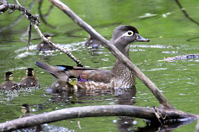 Photograph - Woodduck Family by Brook Burling