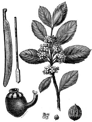 Botanical Drawing - Wooden Spatula, Bombilla, Culha, Mate Branch, Flower, Fruit by French School