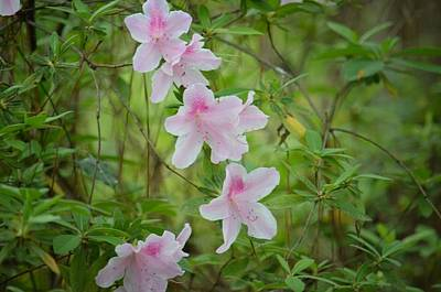 Photograph - Woodland Azaleas by Maria Urso