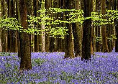 Photograph - Woodland Bluebells by Kelvin Trundle