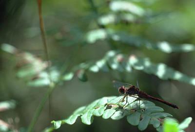 Photograph - Woodland Dragonfly by Bernard Lynch