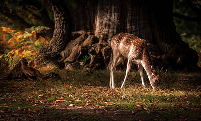 Dappled Light Photograph - Woodland Fawn by Nigel Wooding